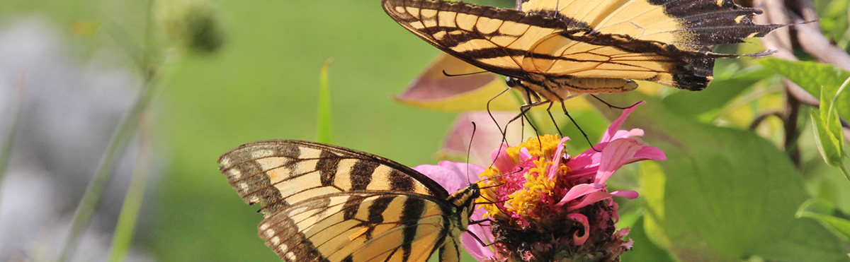 Two Butterflies on a flower together